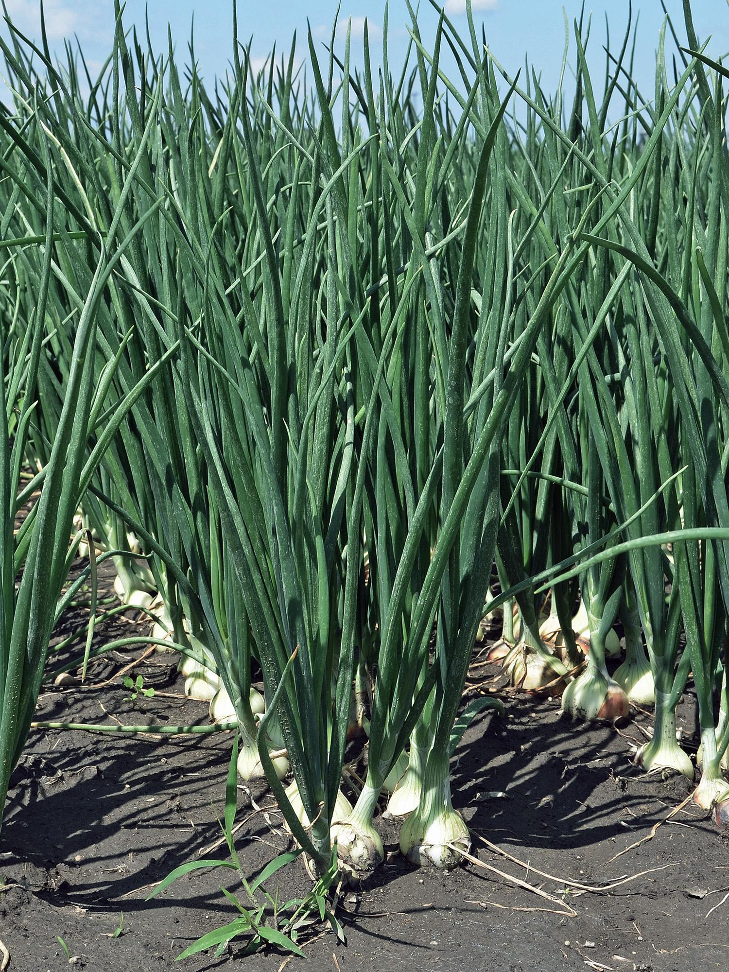 Onion production v