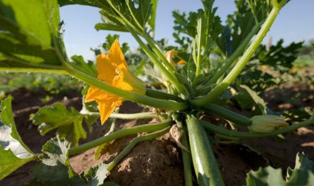 Estrategias de fertirrigación y fertilización foliar en calabacín