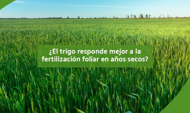 Trigo - fertilización foliar