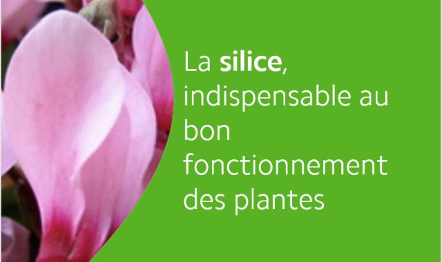 la silice un élément indispensable au bon fonctionnement des plantes